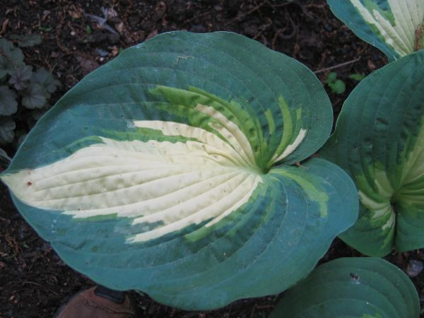 Hosta Photo Library