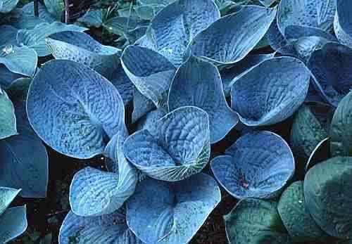Очень синие листья чашевидной формы с