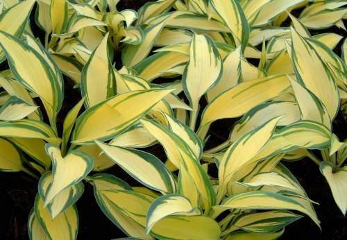Средне-рослая хоста.  Лист с желтовато-белым центром и тонкой голубовато-зеленой каймой размером 17х8 см...