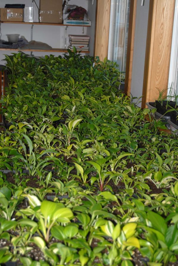 Starting Growing Hosta Seed By Bob Axmear